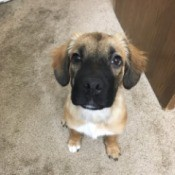 What Breed Is My Dog? - light brown puppy with dark muzzle