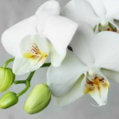 Closeup of white orchids on grey background