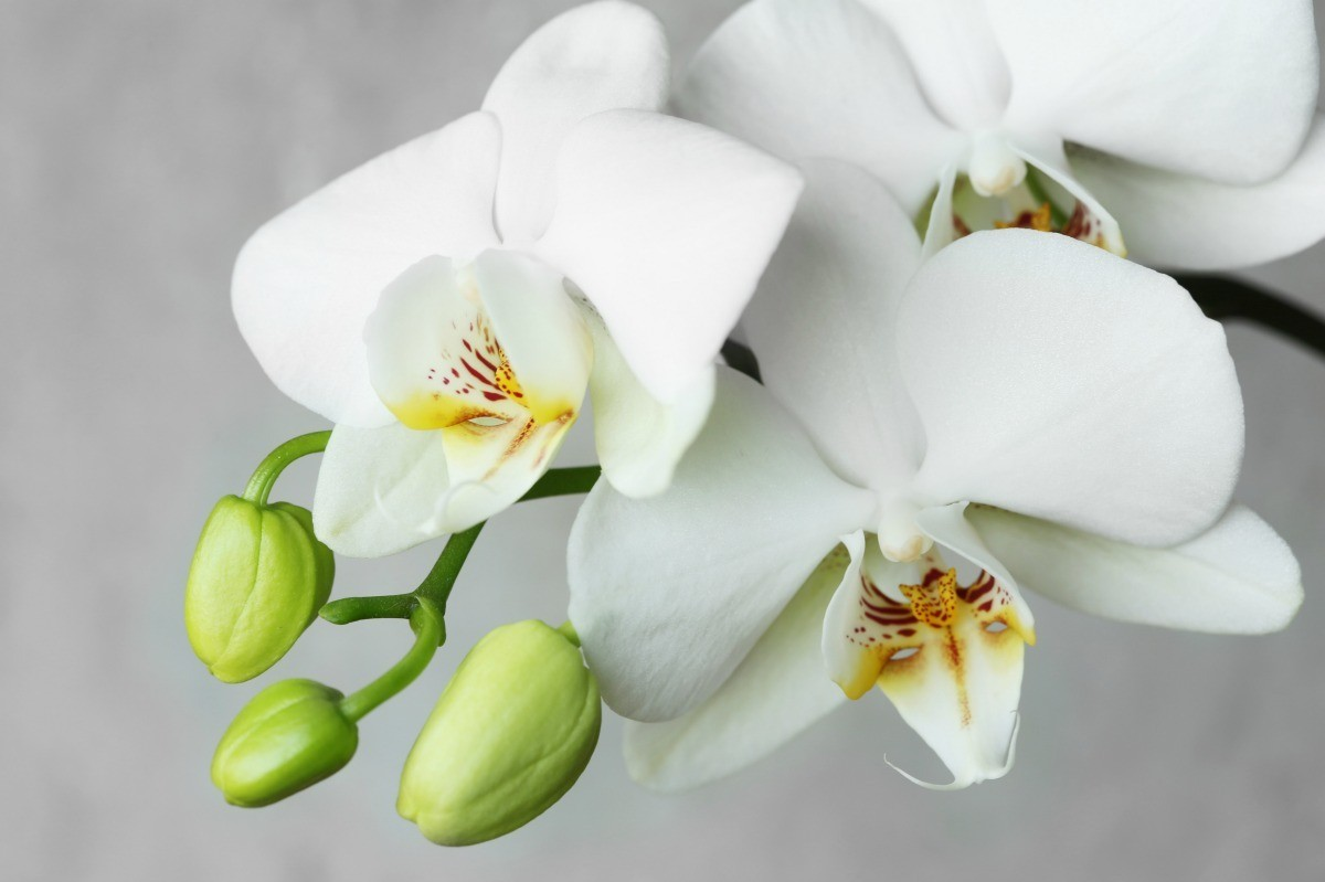 Temperature Range For Orchids Thriftyfun
