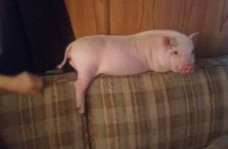 Bessy (Pot-bellied Pig) - on back of couch