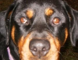 A rottweiler's face.