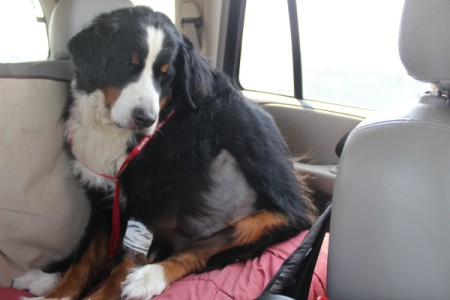 Bleu (Bernese Mountain Dog) - dog in car