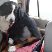 Bleu (Bernese Mountain Dog) - dog in car