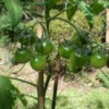 Growing Cherry Tomatoes - clusters of green tomatoes