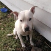 Is My Pit Bull Full Blooded? - white Pit puppy