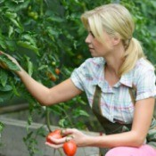 Woman Picking Tomatoes