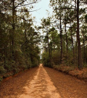 An unpaved dirt road through pine trees.