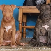 Are My Puppies Pure Bred Pit Bulls? - one brown and one brindle puppy