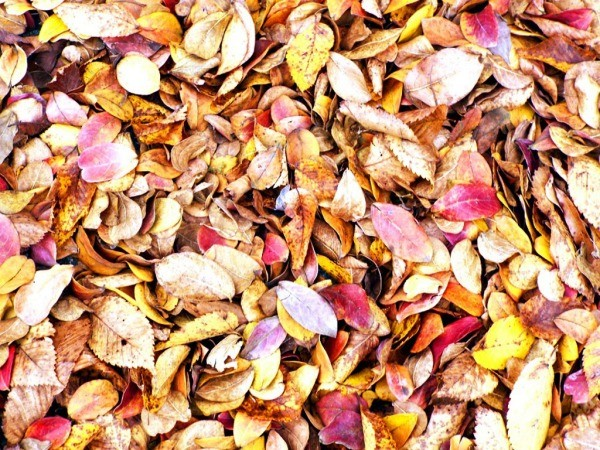 Enjoying The Offerings Of Autumn - crepe myrtle leaves