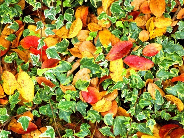 Enjoying The Offerings Of Autumn - crepe myrtle leaves and ivy