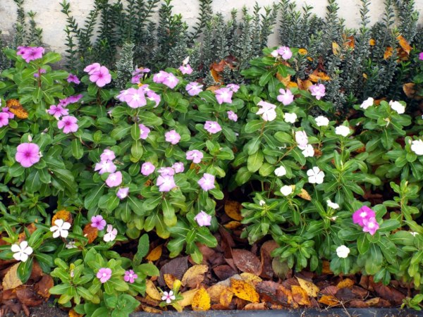 Enjoying The Offerings Of Autumn - vinca And euonymus