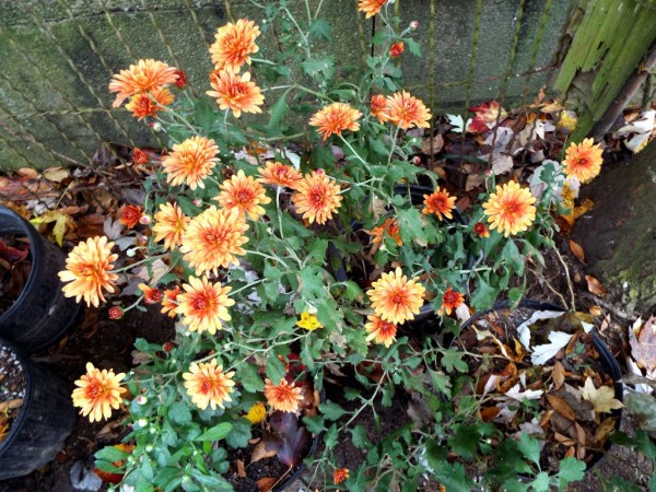 Enjoying The Offerings Of Autumn - garden mums, yellow with orange centers