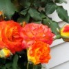Enjoying The Offerings Of Autumn - Piñata rose, orange and yellow