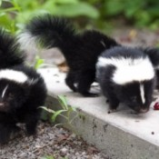 Baby skunks on a cement pad.