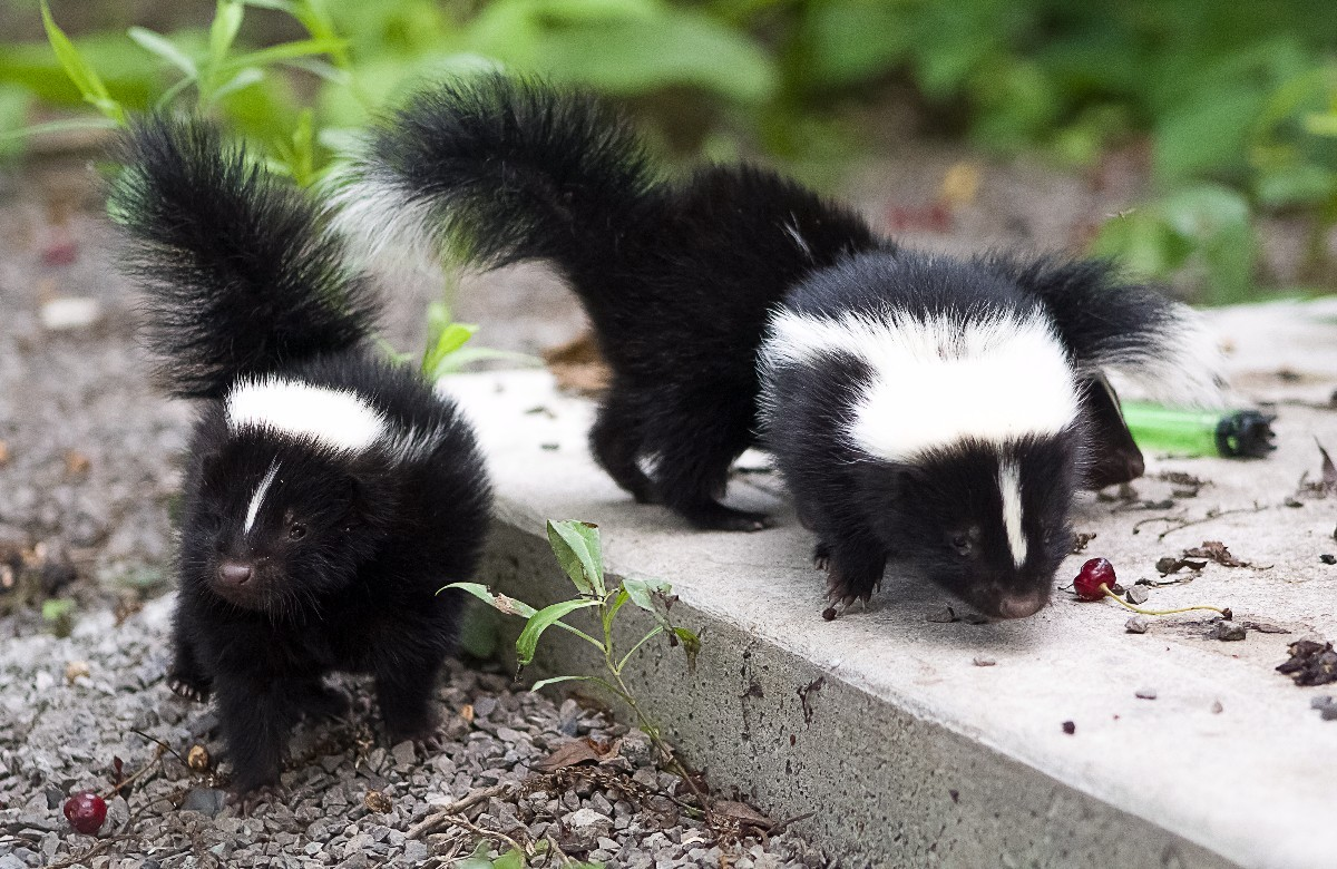 Removing Skunk Smell from a Car   ThriftyFun