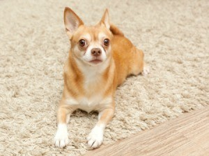 Chihuahua on Carpet