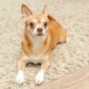 Chihuahua on Carpet
