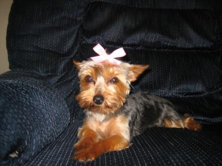 Sadie (Toy Yorkie) - cute Yorkie on couch