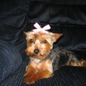 Sadie (Toy Yorkie) - cute Yorkie on couch