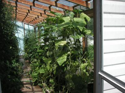 A greenhouse with growing plants.