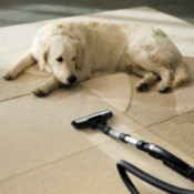 Vacuuming Carpet by Pet Dog