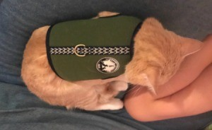 Keeping a Cat from Licking and Scratching Its Wound - orange tabby wearing a harness