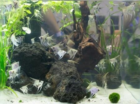 Aquarium with rocks and Angelfish