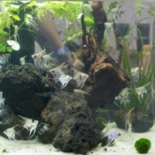 Aquarium with rocks and Angelfish