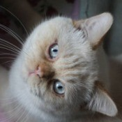 Snow (Siamese Mix) - white cat lying on his side