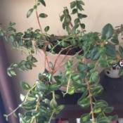 Identifying a Houseplant - multi-branching houseplant with dark green leaves