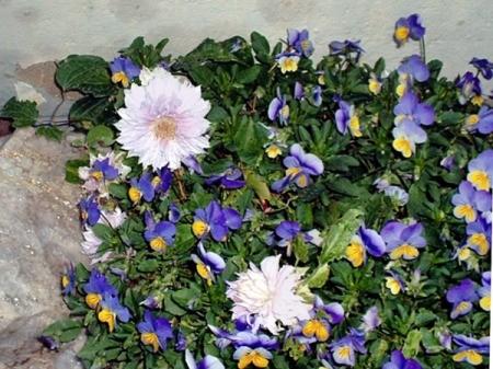 Clematis - Belle Of Woking - clematis blooms with viola