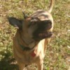 Kimba (Belgian Malinois Mix) - tan dog