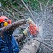 Man Cutting Up Pine Tree