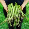 Freshly Harvested Asparagus