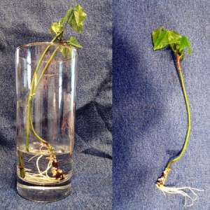 A cutting of corkscrew vine (vigna carcalla) in a glass.