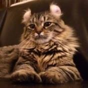 Abbey (Highland Lynx) - lion pose