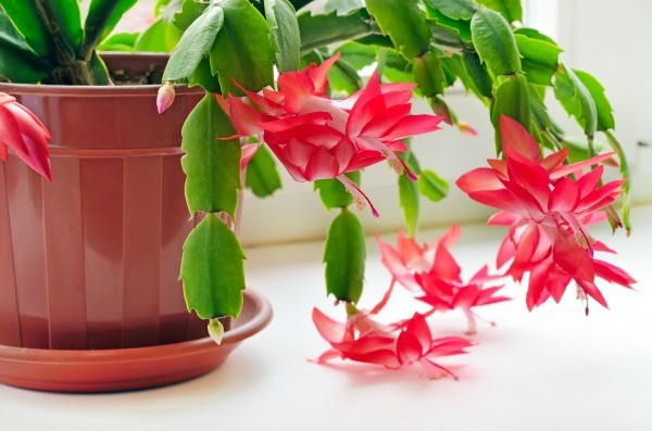 dividing and repotting a christmas cactus