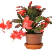Christmas Cactus with Red Leaves and Red Flowers