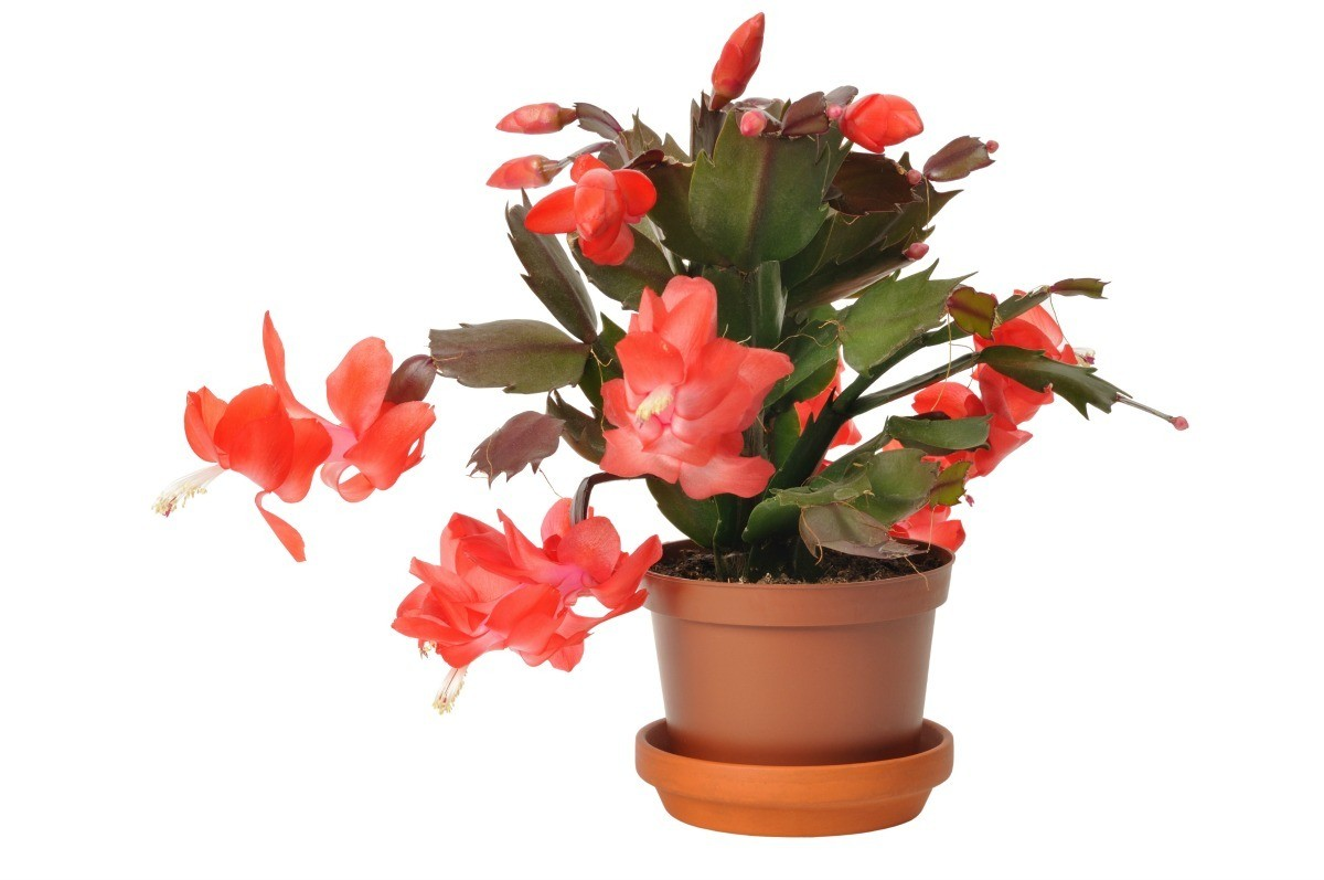 Caring For Christmas Cactus.Christmas Cactus With Red Leaves Thriftyfun