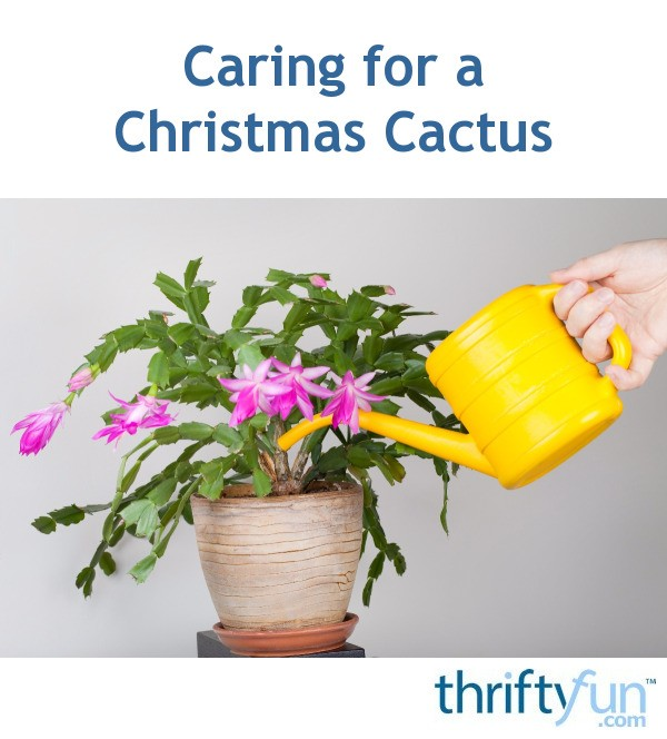 Caring For A Christmas Cactus Thriftyfun