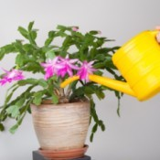 Watering a Pink blooming Christmas Cactus