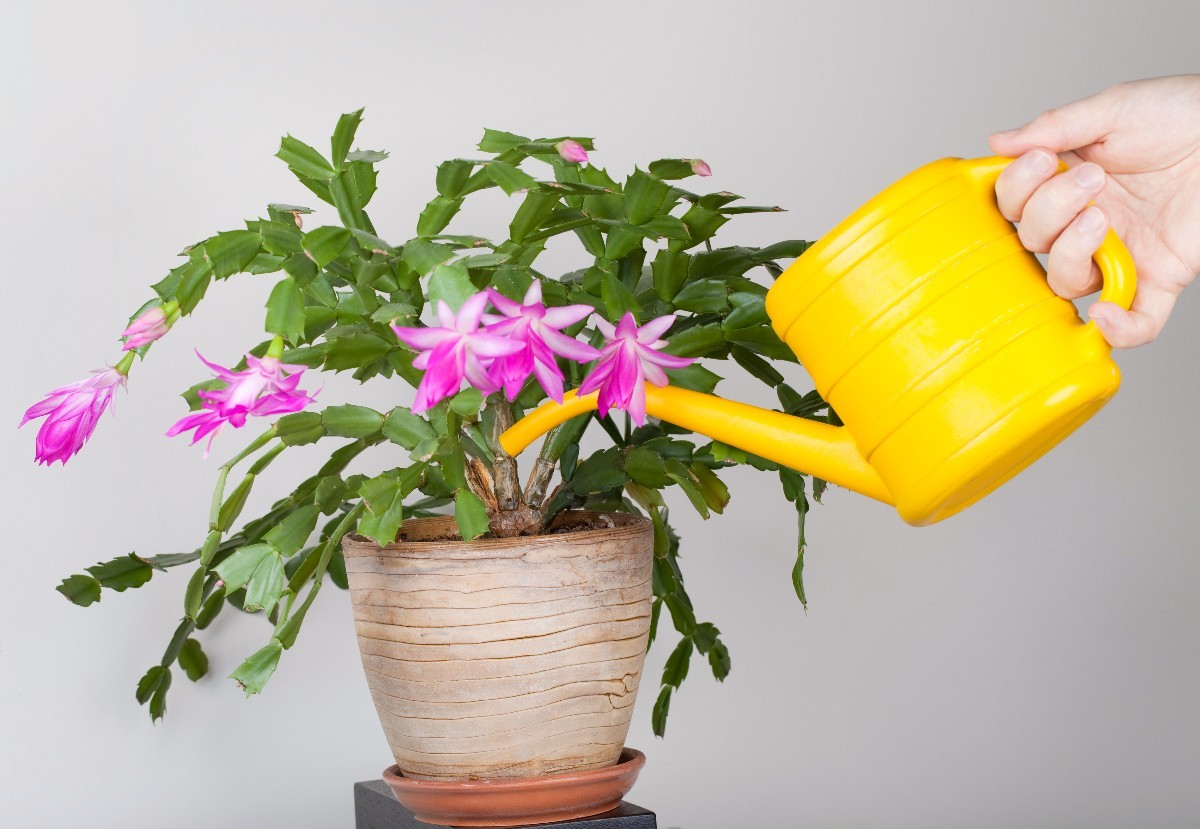 Caring for a Christmas Cactus | ThriftyFun