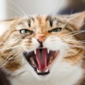 Close up of aggressive domestic cat