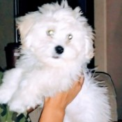 Prognosis for a Dog with Parvo - white fluffy dog