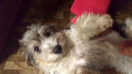 Wiggles (Mix Breed) - grey and white terrier mix