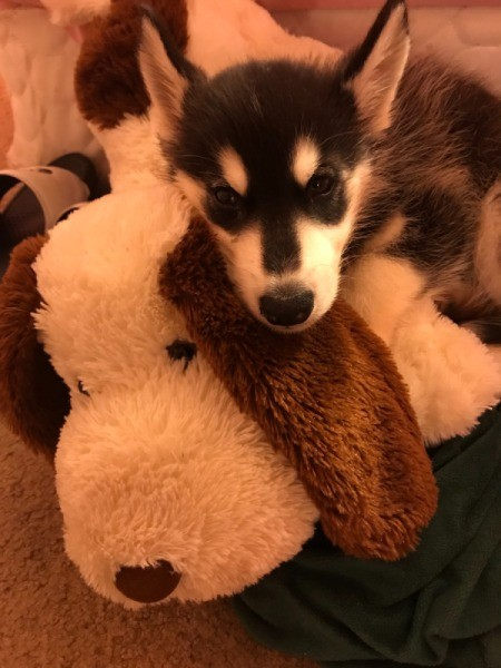 Caring for a Puppy with Parvo - Husky puppy