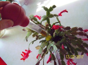 Turkey Baster for Watering Houseplants - watering a Christmas cactus