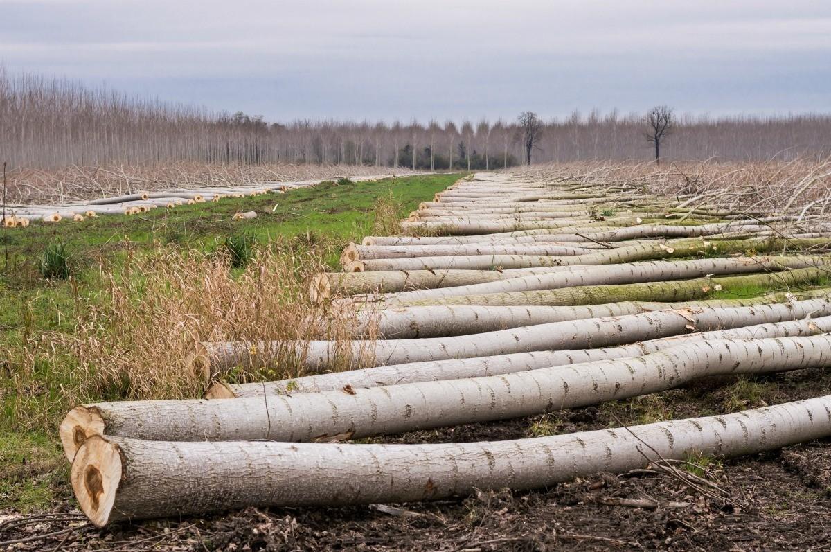 Selling Poplar Trees for Lumber | ThriftyFun