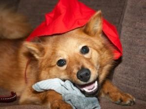 Dog eating a sock.