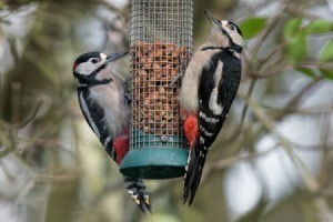 2 birds on a feeder.